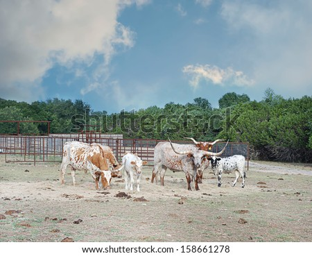 Longhorn cattle grazing on a ranch - stock photo