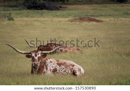 Longhorn cattle resting on an Oklahoma ranch - stock photo