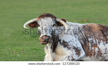 Longhorn cow - stock photo