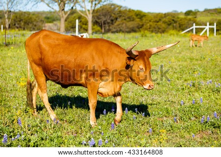 Longhorn cow grazing in a field on a ranch in the Texas Hill Country. - stock photo