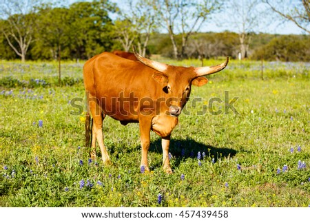 Longhorn cow grazing in a field on a ranch in the Texas Hill Country.