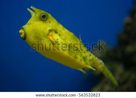 longhorn cowfish lactoria cornuta