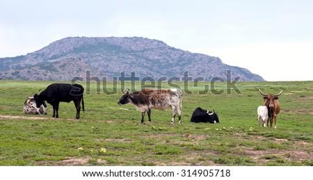 Longhorn cows on the Oklahoma range. - stock photo