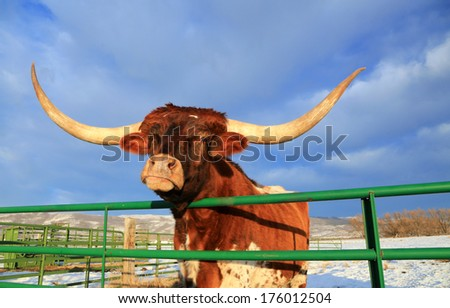 Longhorn steer peering over a green gate, Utah, USA. - stock photo