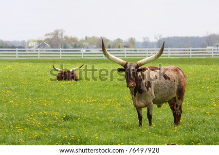 Longhorn Steers grazing in a green pasture - stock photo