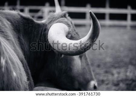 Longhorns - stock photo