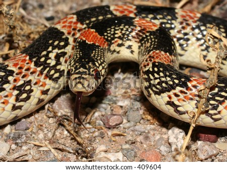 Longnose Snake - stock photo