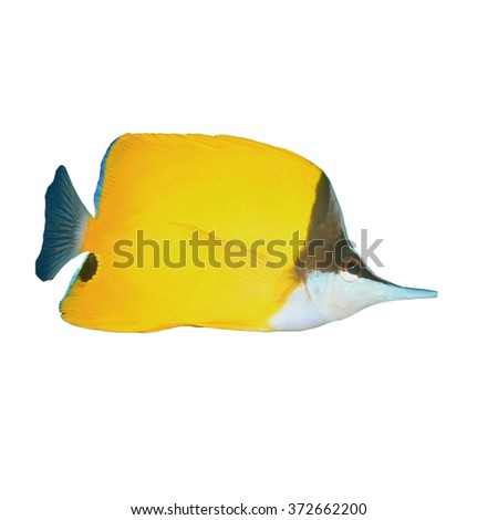 Longnosed Butterflyfish isolated on white background - stock photo