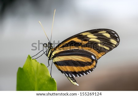 Longwing, Tiger Butterfly - stock photo