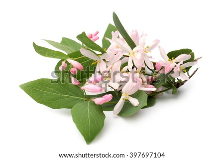 Lonicera tatarica branch with flowers on white background - stock photo