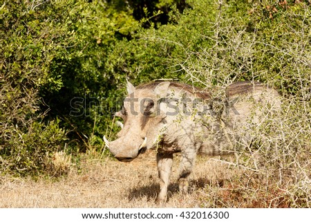 Look at me Ma - Phacochoerus africanus - The common warthog is a wild member of the pig family found in grassland, savanna, and woodland in sub-Saharan Africa. - stock photo