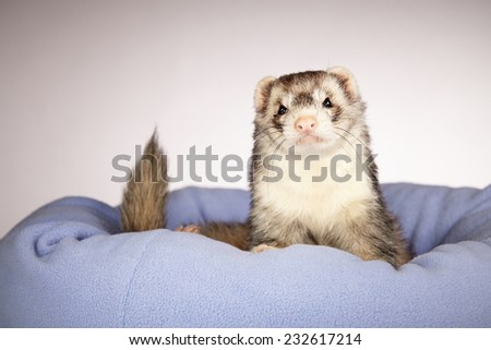 Look at this ferret - stock photo