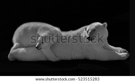 Look back of polar bear family. Lying white bear mother with her cub is taking sun bath. Black and white image.