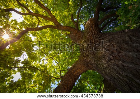 Look up under the old huge tree. Sunlight through the oak tree branches. - stock photo