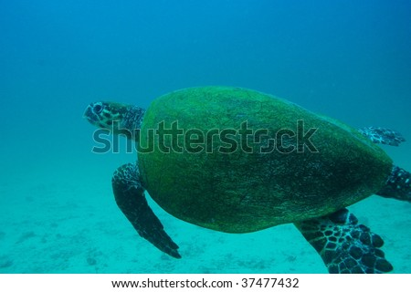 looking back green turtle - stock photo