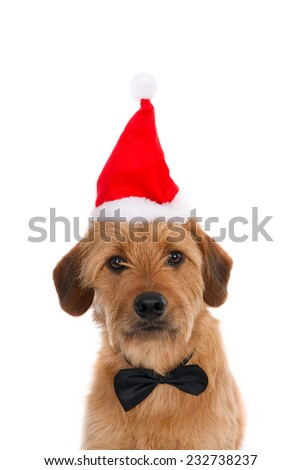 Looking crossbreed with Santa hat and tie bow, isolated on white