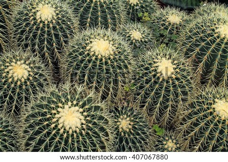 Looking Down at a Collection of Barrel Cactus