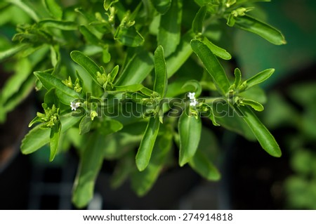 Looking down at a stevia plant with elongated leaves and small white flowers. Shallow depth of field.