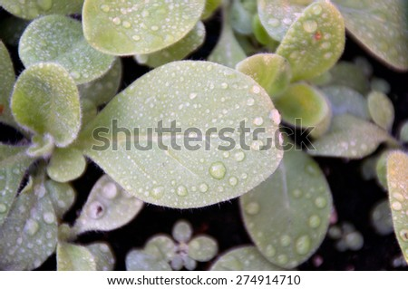 Looking down at young tobacco seedlings after rain, the leaves are covered with water drops. - stock photo