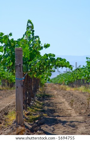Looking down the row of grapevines on a beautiful, sunny day.