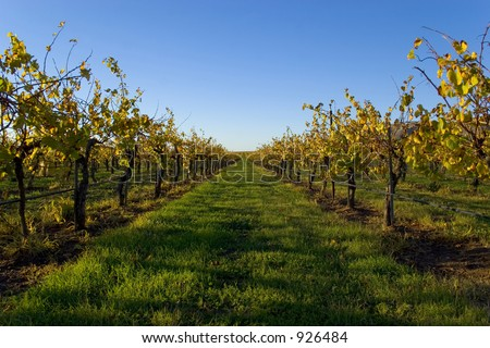 Looking down the rows of grape vines right after harvest.