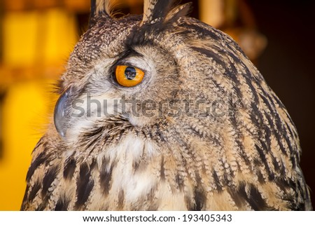 Looking eagle owl in a sample of birds of prey, medieval fair