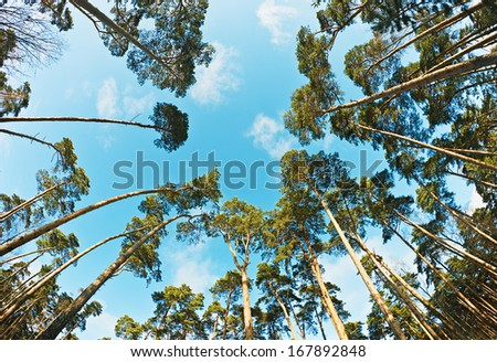 Looking for pine trees photographed on a fisheye lens - stock photo