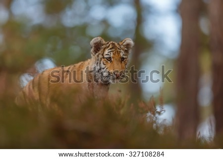 looking tiger  - stock photo