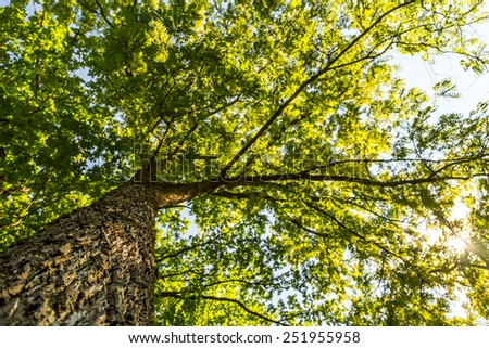 Looking Up a Tall Tree in Summer - stock photo