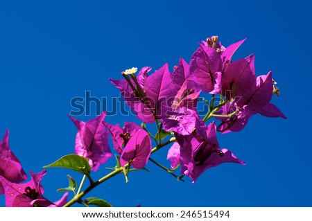 Looking up at a branch of flowering Bougainvillea plant against clear blue sky. - stock photo