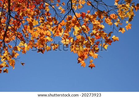 Looking up at a maple with bright yellow and orange leaves.