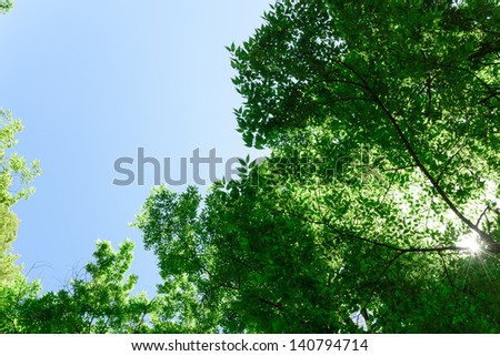 Looking up at fresh green leaves Japanese zelkova - stock photo