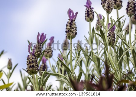 Looking up at lavender flowers against a blue sky background - stock photo