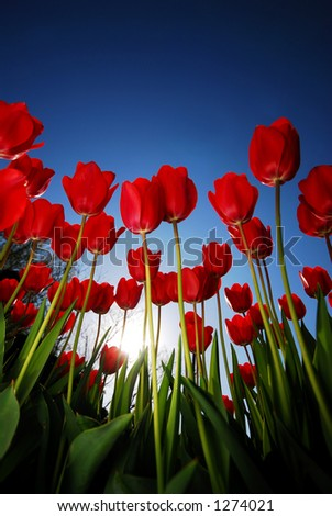 Looking up at Red Tulips, Blue Sky, and the Sun. (room for text) - stock photo