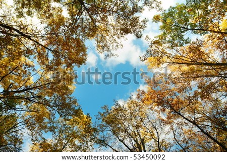 Looking up at tall a golden oak tree tops in autumn - stock photo