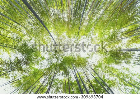 Looking up at the bright green bamboo forest   - stock photo