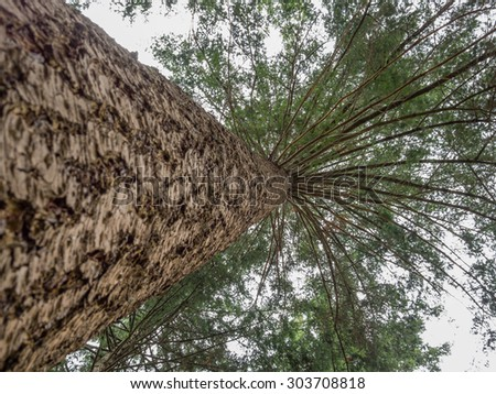 Looking up at the cloudy sky along the trunk of a large pine tree - stock photo