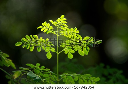 Looking up at the leaves at the top of a young moringa tree, used for alternative medicine.  - stock photo