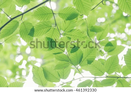 Looking up at toned image of delicate looking beech tree leaves.