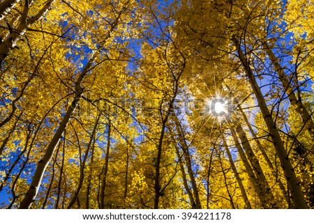 Looking up from the forest floor of the changing of yellow Aspen trees against bright blue sky with sunburst through the leaves - stock photo