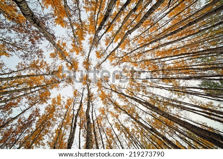 Looking up in a forest of tall aspen trees - stock photo