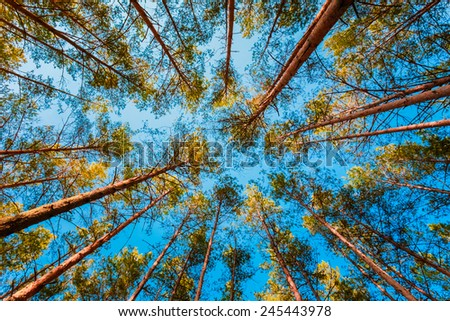 Looking Up In Spring Pine Forest Tree To Canopy. Bottom View Wide Angle Background - stock photo