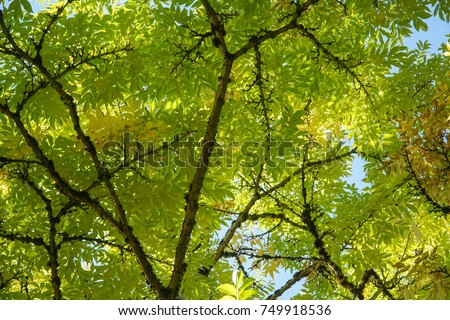 Looking up into the canopy of a tree with leaves starting to change color for Fall & Looking Into Canopy Tree Leaves Starting Stock Photo 749918536 ...