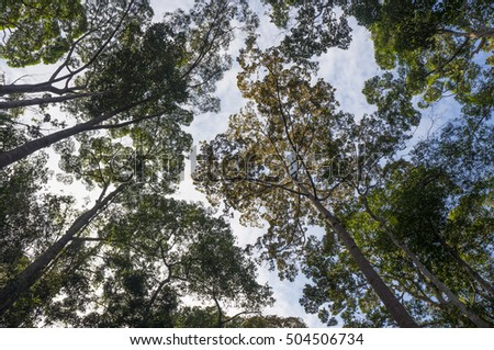 Looking up of rainforest tree to the canopy,