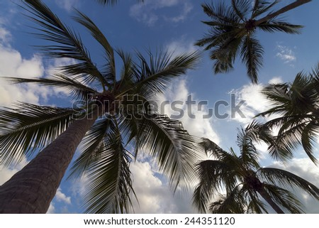 Looking up the palm trees - stock photo