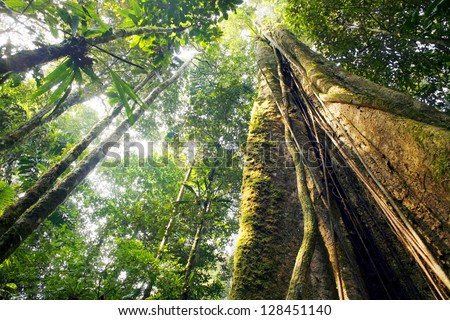 Looking up the trunk of a giant rainforest tree to the canopy, Ecuador - stock photo