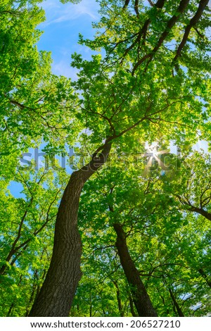 Looking up the trunk of a tall oak tree to the canopy - stock photo