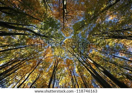 Looking up to the blue clear sky through the yellow autumn trees of the forest