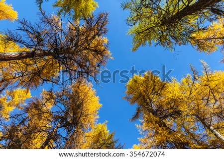 Looking up to the blue sky through the colorful larch on a sunny autumn day in the forest in Engadin, canton of Grisons, Switzerland - stock photo