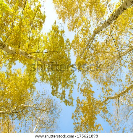 Looking up to the sky in birch forest - stock photo